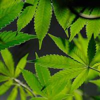 Colorado recuerda cannabis medicinal de tienda de Denver sobre preocupaciones deplaguicidas